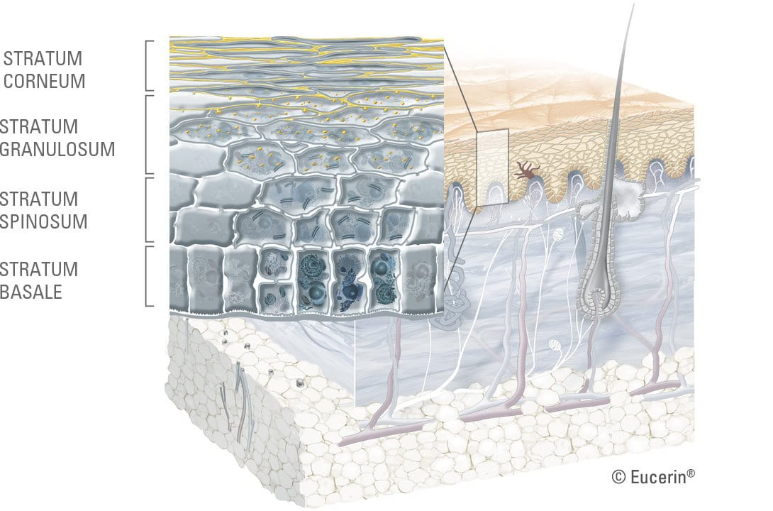 Graphic illustration of horny layer close-up.
