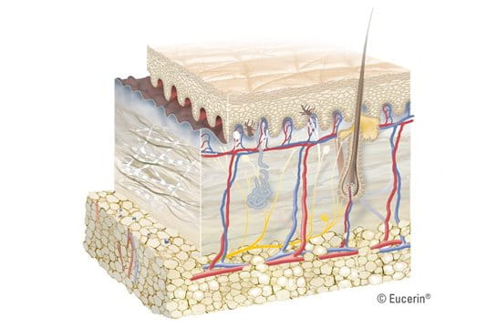 Graphic illustration of dermis close-up.