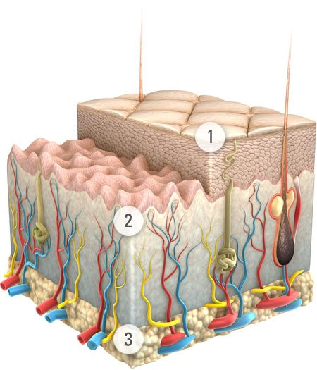 Graphic presentation of skin and its layers.