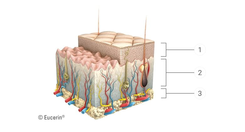 The skin aging process affects every layer: graphic